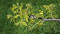 Juglans nigra (Black Walnut) (34439469552).jpg