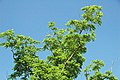 Juglans nigra (black walnut) 3 (49083263121).jpg