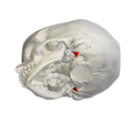 Jugular process of occipital bone04.png