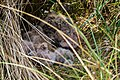 Junge Sumpfohreulen im Nest 1.jpg