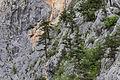 Juniper on the cliffs, Hançerderesi 01.jpg