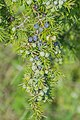 Juniperus communis, Aveyron, France B.jpg