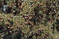 Juniperus oxycedrus, Imouzzer, Morocco (37497778910).jpg