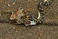 Juvenile Carpet Snake eating Cane Toad.jpg