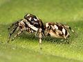 Kaldari Salticus scenicus female 04.jpg