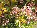 Kalmia latifolia at University of Washington 2.jpg