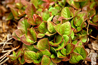 <i>Vaccinium praestans</i> species of plant