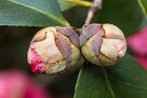 Camellia japonica - A bud of a Japanese camellia