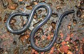 Khaire's Black Shieldtail Melanophidium khairei by Dr. Raju Kasambe DSCN1145 (31).jpg