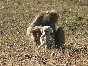 Kinda baboon - White infant with mother in Kafue National Park, Zambia
