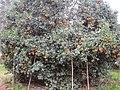Kinnow Orchard - panoramio (5).jpg