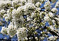 Kirschblüte in Sachsen..2H1A9967OB.jpg