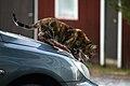 Kissa konepellillä.jpg