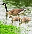 Kissing Bridge goosey goslings 5395 (32224291190).jpg