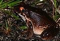 Knudsen's Thin-toed Frog (Leptodactylus knudseni) on the road ... (23923511067).jpg