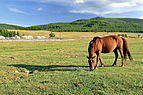 Koń mongolski w Parku Narodowym Gorchi-Tereldż 09.JPG