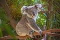 Koala in Pairi Daiza.jpg