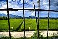 Korea-Damyang-Rice paddy field-01.jpg