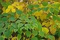 Korina 2013-10-19 Fallopia japonica 2.jpg