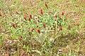 Korina 2016-05-26 Trifolium incarnatum 1.jpg