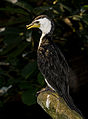 Kräuselscharbe Phalacrocorax melanoleucos 02 2014.jpg