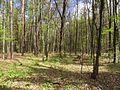 Krasnyy Khutir forest1.jpg