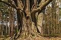 Kroezeboom (grensboom). Beuk (Fagus sylvatica). Locatie, Kroondomein 04.jpg