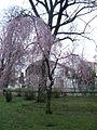 Kvetoucí Bohnice.jpg