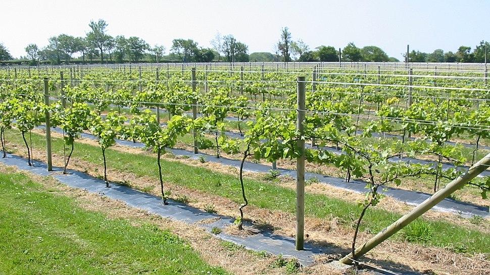 La Mare Vineyards Jèrri