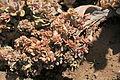 La Palma - Los Llanos de Aridane - Las Manchas - Plaza de Glorieta - Crassulaceae 01 ies.jpg