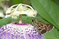 Lace-winged Roadside-Skipper Amblyscirtes aesculapius.jpg
