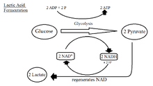 1534 besides File citric acid cycle pathways likewise Creatine And Muscle further Cellular Respiration Equation moreover 17  20Biosynthesis 20and 20catabolism 20of 20purine 20and 20pyrimidine 20nucleotides. on atp process diagram