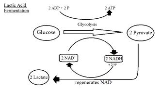 Lactobacillus brevis - Lactic acid fermentation