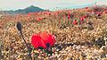 Lale ordubad yaz spring flower cicek svln4821 04.jpg