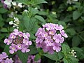 Lantana from Lalbagh flower show Aug 2013 8041.JPG