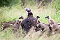 Lappet-faced Vultures (6858439419).jpg