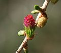 Larch female flower.jpg