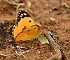 Large Salmon Arab (Colotis fausta)- Male at Chilkur near Hyderabad, AP W IMG 7454.jpg