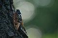Large brown cicada (9646252528).jpg