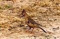 Lark-like brushrunner (Coryphistera alaudina).jpg