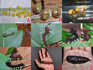 Instar - Imperial moth (Eacles imperialis) development from egg to pupa, showing all the different instars