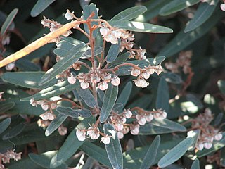 <i>Lasiopetalum</i> genus of plants