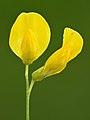 Lathyrus pratensis flowers - Keila.jpg
