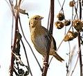 LeContes Sparrow, Neal Smith Refuge (5471384737).jpg