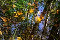 Leaves and reflections in a mossy puddle 3.jpg