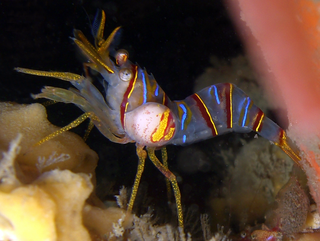 Bopyridae family of crustaceans