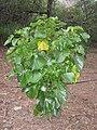 Lebronnecia kokioides - Koko Crater Botanical Garden - IMG 2269.JPG