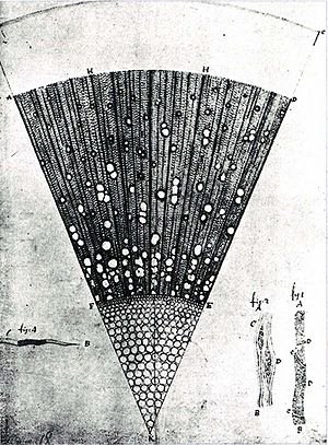 Antonie van Leeuwenhoek - A microscopic section of a one-year-old ash tree (Fraxinus) wood, drawing made by van Leeuwenhoek