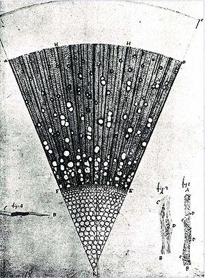 Antonie van Leeuwenhoek - A microscopic section of a one-year-old ash tree (Fraxinus) wood, drawing made by van Leeuwenhoek