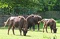 Leipzig Wildpark Wisent.JPG